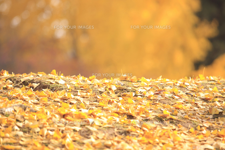 銀杏の落ち葉の写真素材 [FYI00474887]
