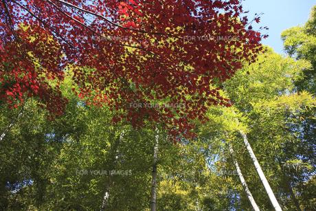 竹と紅葉の写真素材 [FYI00474890]