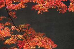嵐山の紅葉の写真素材 [FYI00474892]