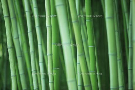 竹林の写真素材 [FYI00474896]