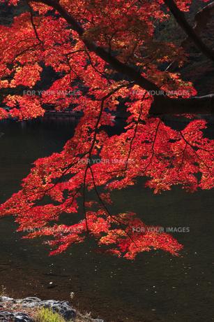 嵐山の紅葉の写真素材 [FYI00474913]