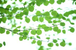 カツラの新緑の素材 [FYI00474973]