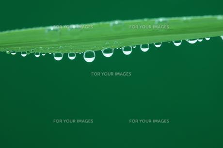 草と水滴の写真素材 [FYI00474995]