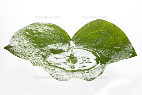 蔦の葉っぱと水滴の写真素材 [FYI00474997]