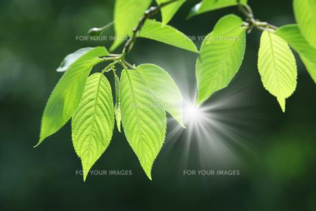 桜の新緑と木漏れ日の写真素材 [FYI00475000]