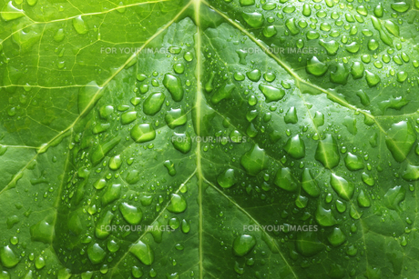 ツタの葉っぱの写真素材 [FYI00475006]