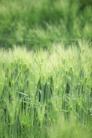 大麦畑の写真素材 [FYI00475012]
