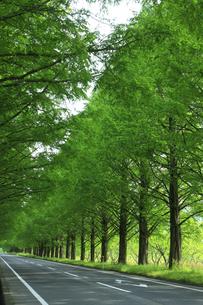 マキノのメタセコイア並木の写真素材 [FYI00475024]