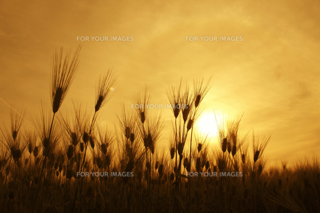 大麦畑の写真素材 [FYI00475026]