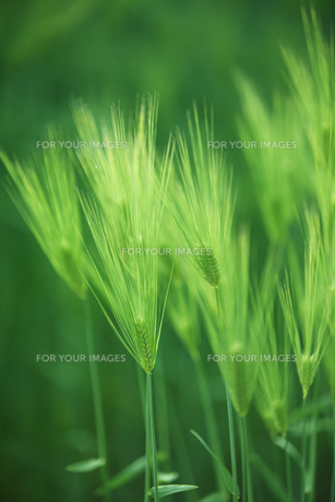 大麦畑の写真素材 [FYI00475031]