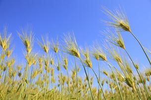 麦畑の写真素材 [FYI00475061]