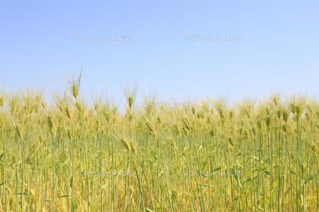 麦畑の写真素材 [FYI00475070]