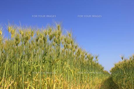 麦畑の写真素材 [FYI00475072]
