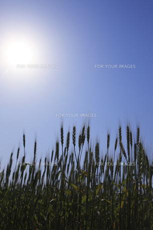 小麦畑の素材 [FYI00475077]