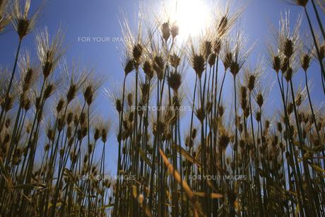 麦畑の素材 [FYI00475084]