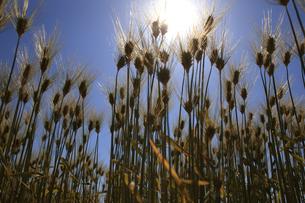 麦畑の写真素材 [FYI00475084]