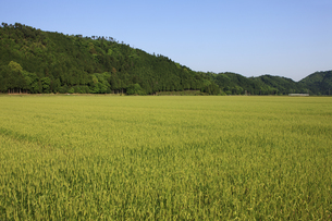 小麦畑の素材 [FYI00475089]