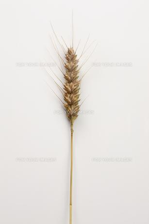 小麦の写真素材 [FYI00475093]