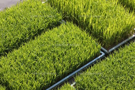 稲床の写真素材 [FYI00475098]