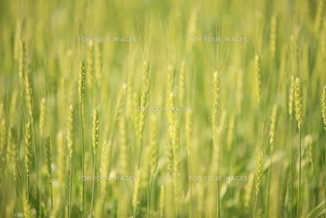 小麦畑の写真素材 [FYI00475103]