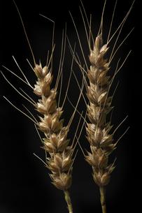 小麦の写真素材 [FYI00475118]