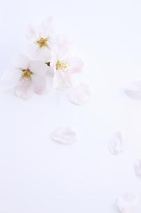並べたソメイヨシノと花びらの素材 [FYI00475136]