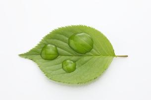 桜の若葉と水滴の写真素材 [FYI00475150]