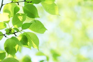 新緑の葉っぱの写真素材 [FYI00475163]