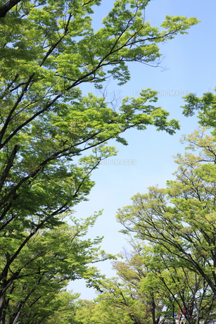 ケヤキ並木の写真素材 [FYI00475172]