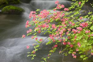 奥入瀬渓流のツツジの写真素材 [FYI00475324]