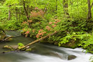 ツツジ咲く奥入瀬渓流の写真素材 [FYI00475334]