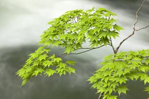 奥入瀬渓流の新緑のモミジの写真素材 [FYI00475340]