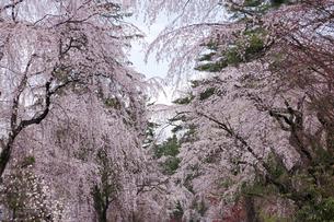 角館のしだれ桜の写真素材 [FYI00475449]