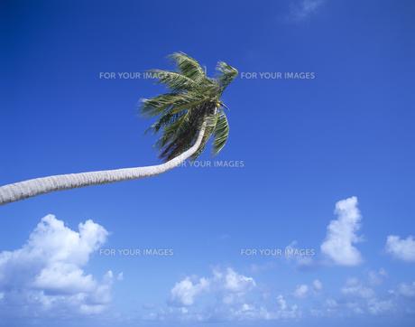 ヤシの木と空と雲の写真素材 [FYI00475640]