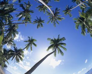 ヤシの木と青空の写真素材 [FYI00475657]
