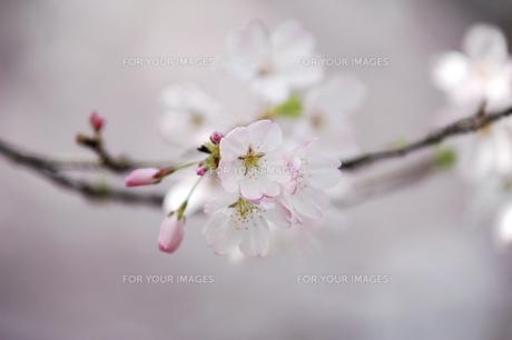 桜の素材 [FYI00476932]