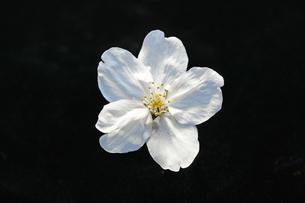 桜の素材 [FYI00476964]