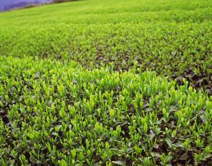 茶畑の素材 [FYI00476968]