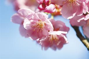 桜の素材 [FYI00476990]
