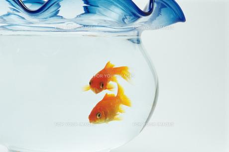 金魚の素材 [FYI00476999]