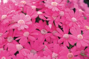 ピンクの花の素材 [FYI00477001]