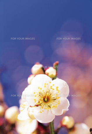梅の花の素材 [FYI00477017]