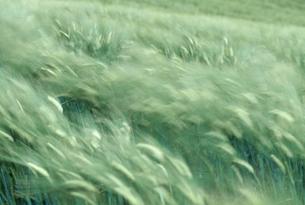 麦畑の素材 [FYI00477049]