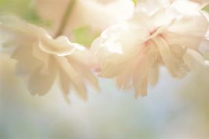 桜の素材 [FYI00477055]