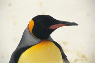 オウサマペンギンの素材 [FYI00477070]