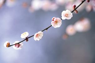 梅の枝の写真素材 [FYI00477084]
