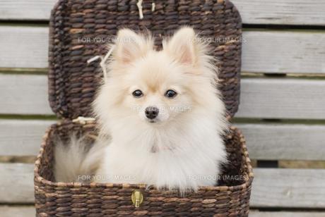 バスケットに入った犬の写真素材 [FYI00477801]