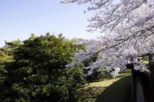 林間に咲く一本の桜の写真素材 [FYI00478531]