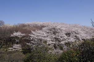 林間に咲く一本の桜の写真素材 [FYI00478552]