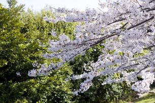 林間に咲く一本の桜の写真素材 [FYI00478567]